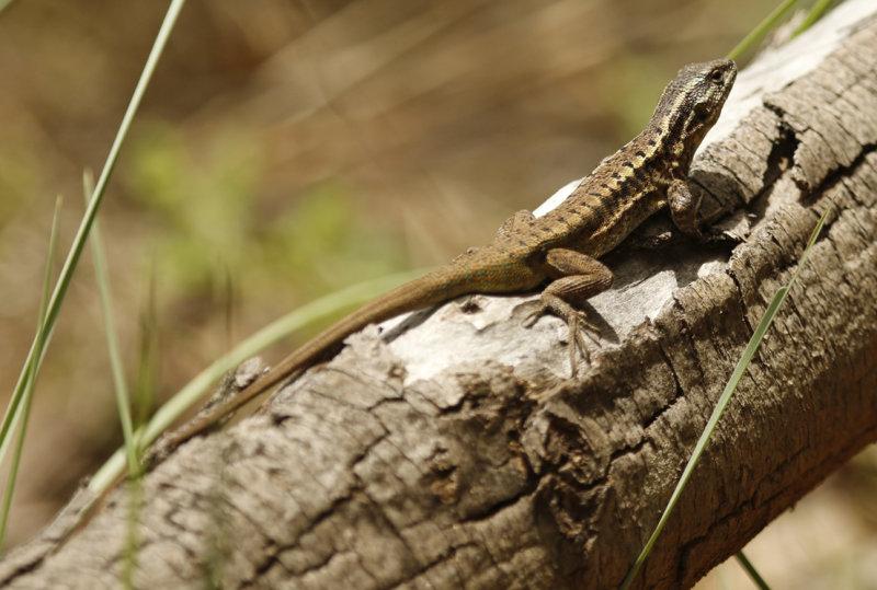 Thin Tree Iguana (Liolaemus tenuis) *Female* Chile - Maule - Altos del Lircay National Park