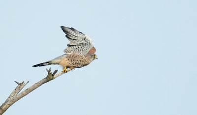 Torenvalk / Common Kestrel (de Oelemars)