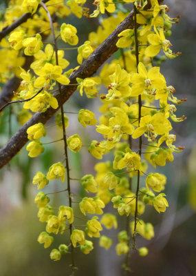 Paluma Range Cassia (Cassia sp Paluma Range)
