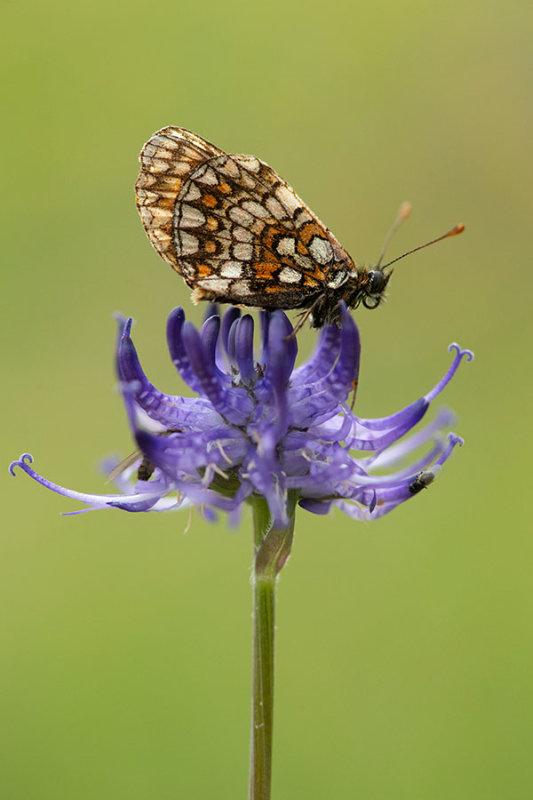 ND5_4514F steppeparelmoervlinder (Melitaea aurelia, Nickerls fritillary).jpg