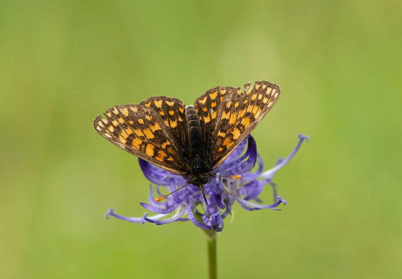 ND5_4424F steppeparelmoervlinder (Melitaea aurelia, Nickerls fritillary).jpg