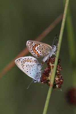 Plebejus argus - Heideblauwtje