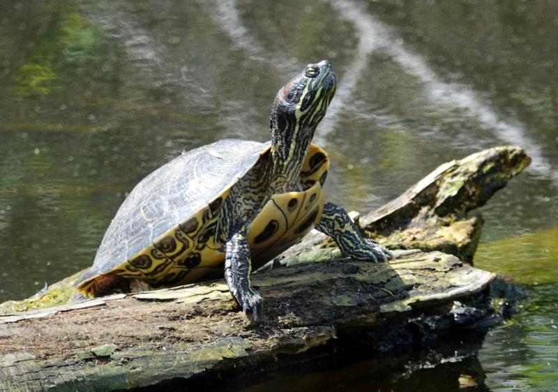 Yellow-bellied Slider Turtle