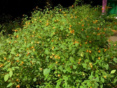 The Jewelweed is still going strong