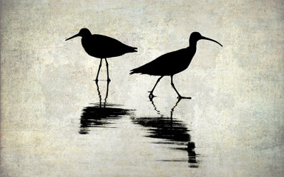 The Willet and the Godwit