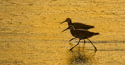 Willets Mirror Dance