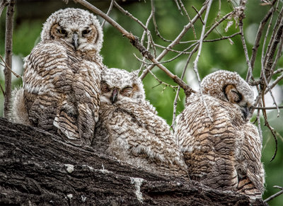 Three Great Horned Owl Fledglings