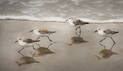Race of the Sanderlings