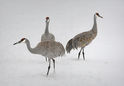 Sandhill Crane Family in the Snow