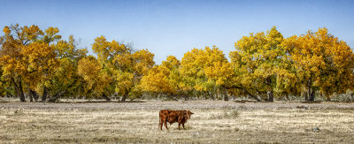 Lonely Bull in the Bosque