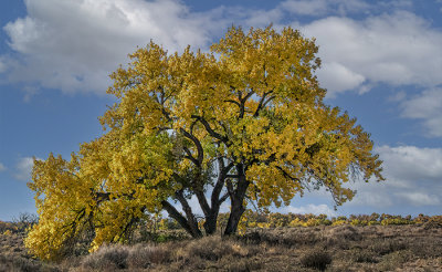 October's Cottonwood