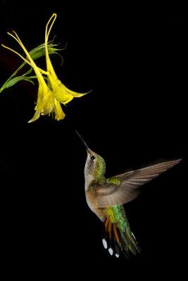 Hummingbird & Columbine