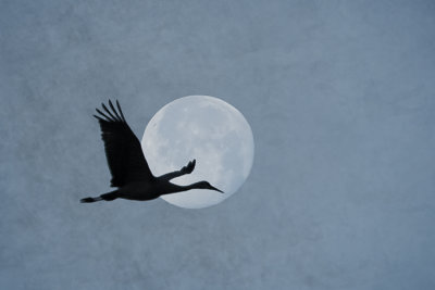 Sandhill Crane with Setting Full Moon