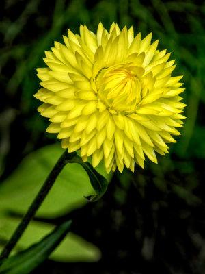 Lemon Strawflower