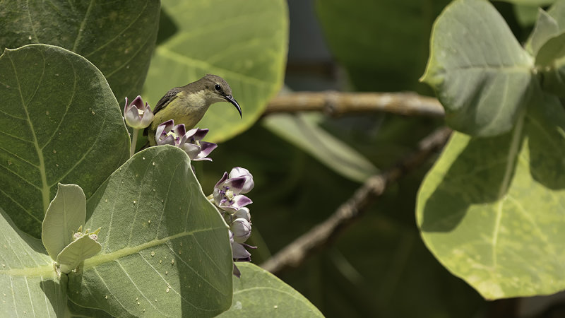Beautiful Sunbird / Feeënhoningzuiger