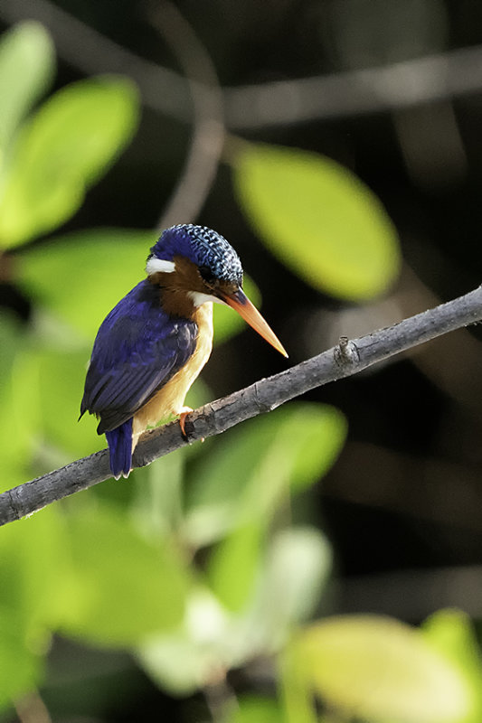 Malachite Kingfisher / Malachite IJsvogel