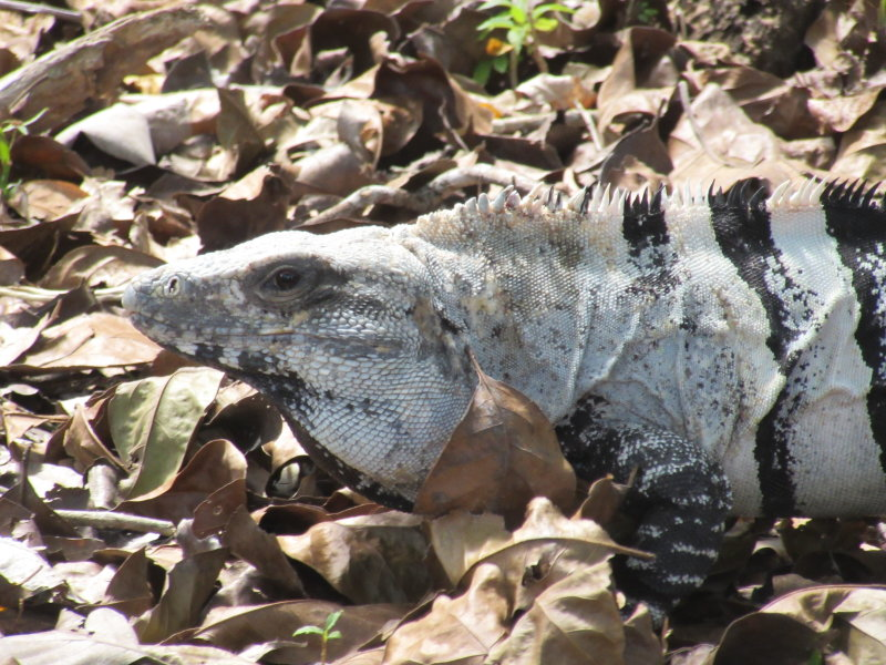 Iguana in the leaves