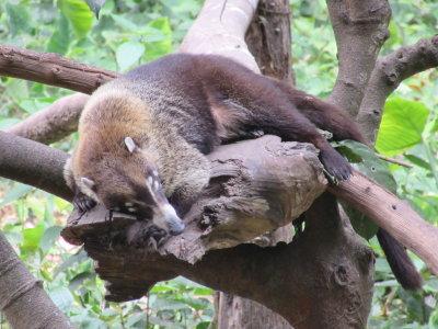 Coati curled up asleep