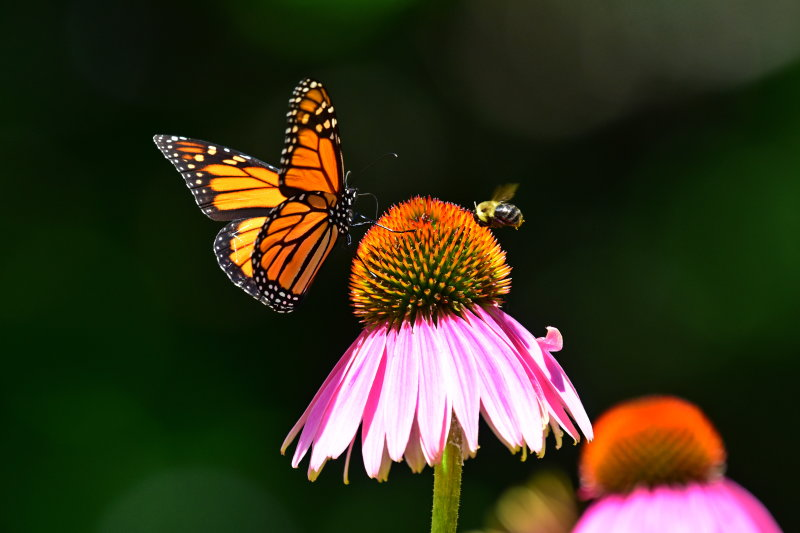 Monarch_and_bee_on_Purple_coneflower2017a.jpg