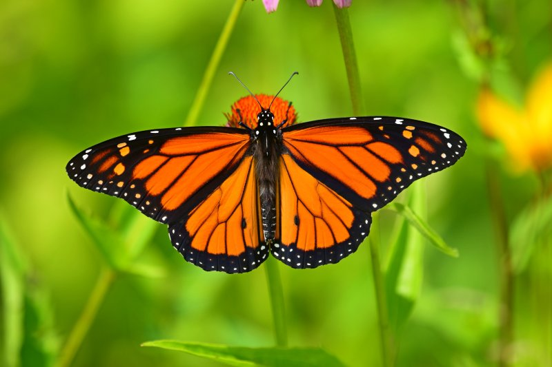 Monarch_butterfly_male_2017a.jpg