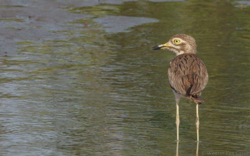 Burhinus senegalensis - Senegal Thick-knee