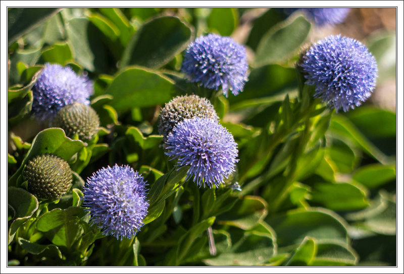 Globularia vulgris- Gemeine Kugelblume