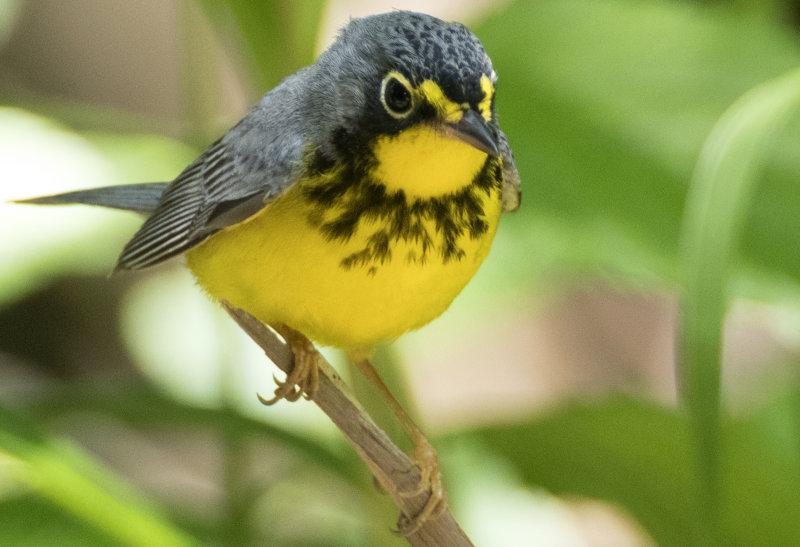 C anada Warbler