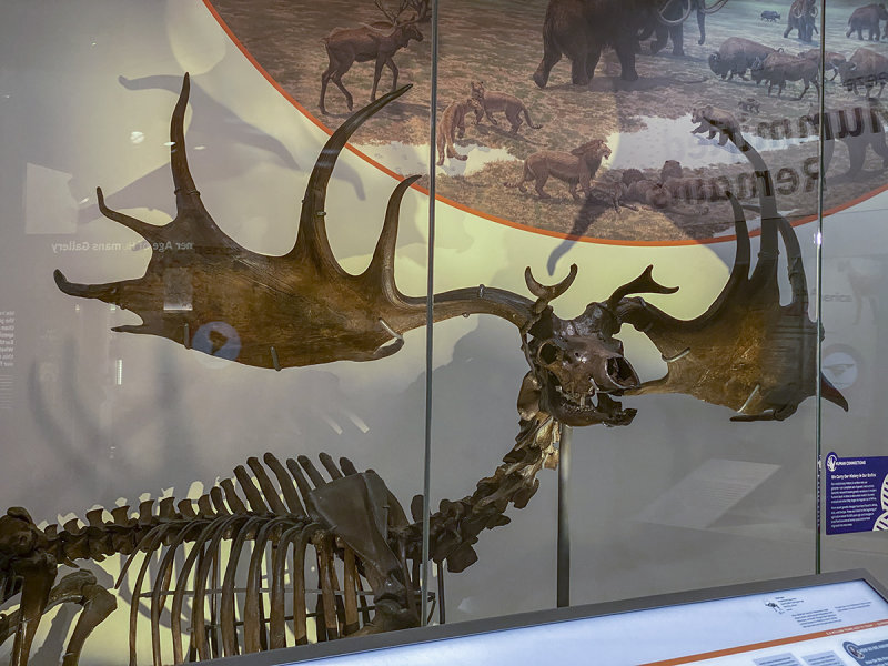 Irish Elk, on display since 1872
