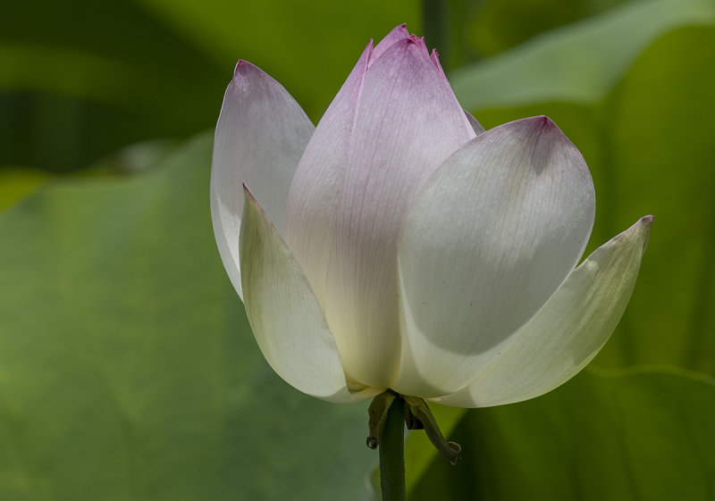 The intracacies of a lotus blossom