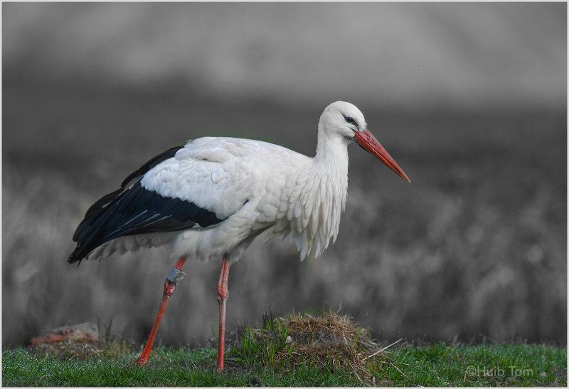 Ooievaar (Ciconia ciconia) White Stork