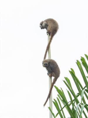 Andean titi monkey