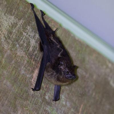 White-lined bat