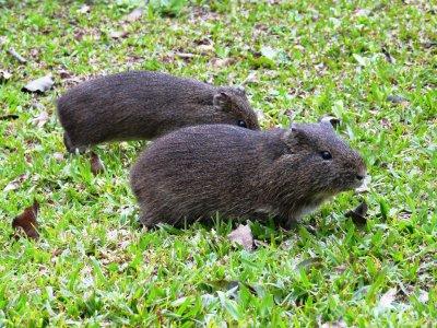 Brazilian guinea pig