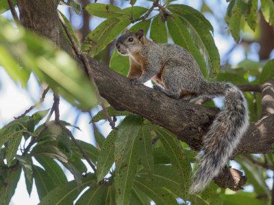 Mexican gray squirrel