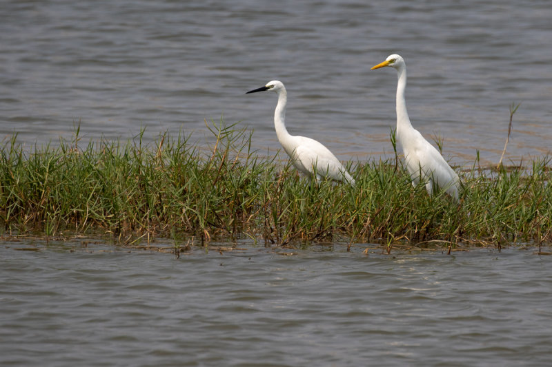 Intermediate Egret (Ardea intermedia) and Little Egret (Egretta garzetta)