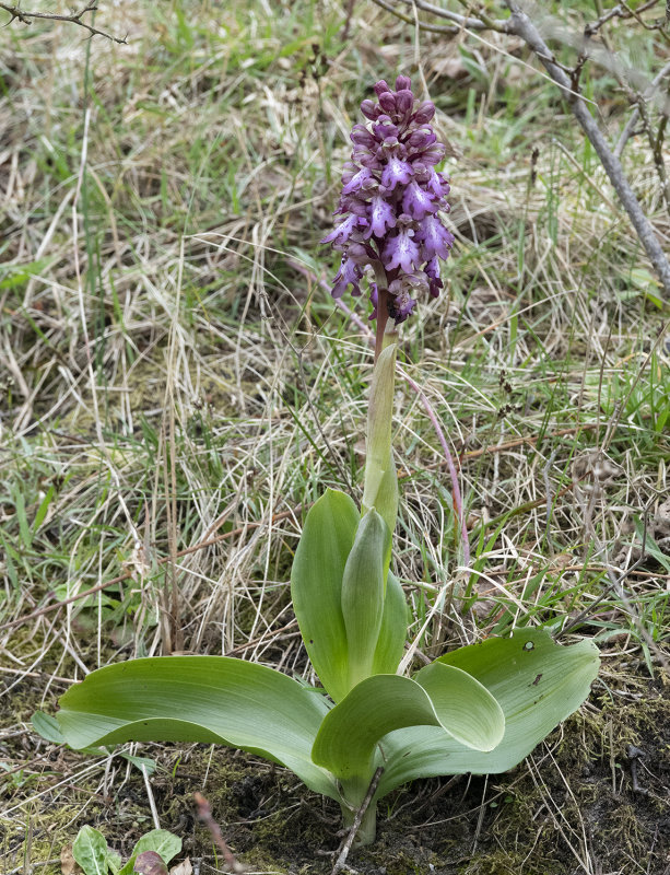 Himantoglossum robertianum.4.jpg