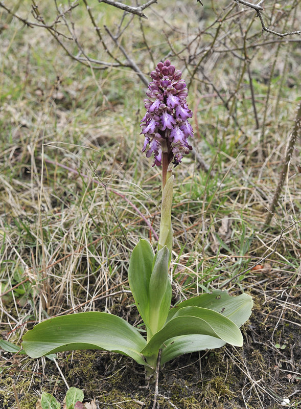 Himantoglossum robertianum.2.jpg