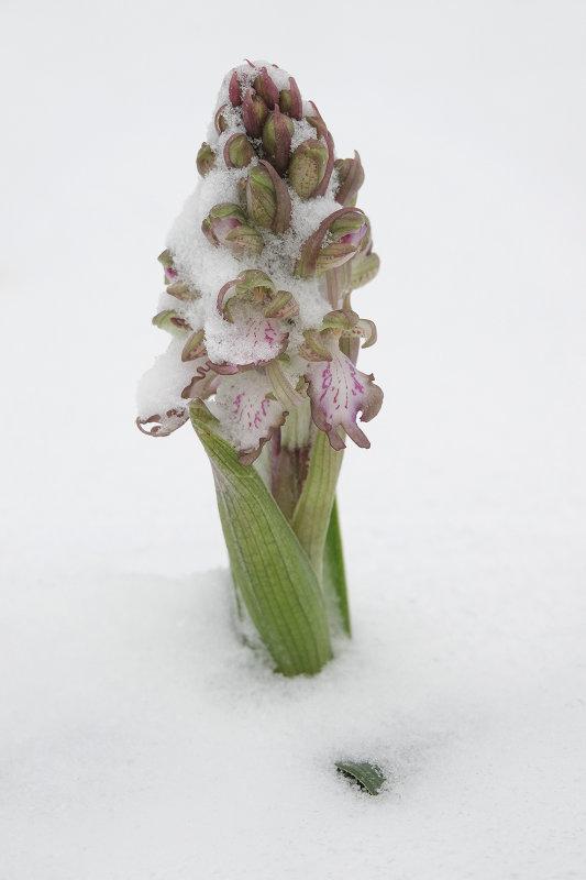 Himantoglossum robertianum Noordwijk 3.jpg