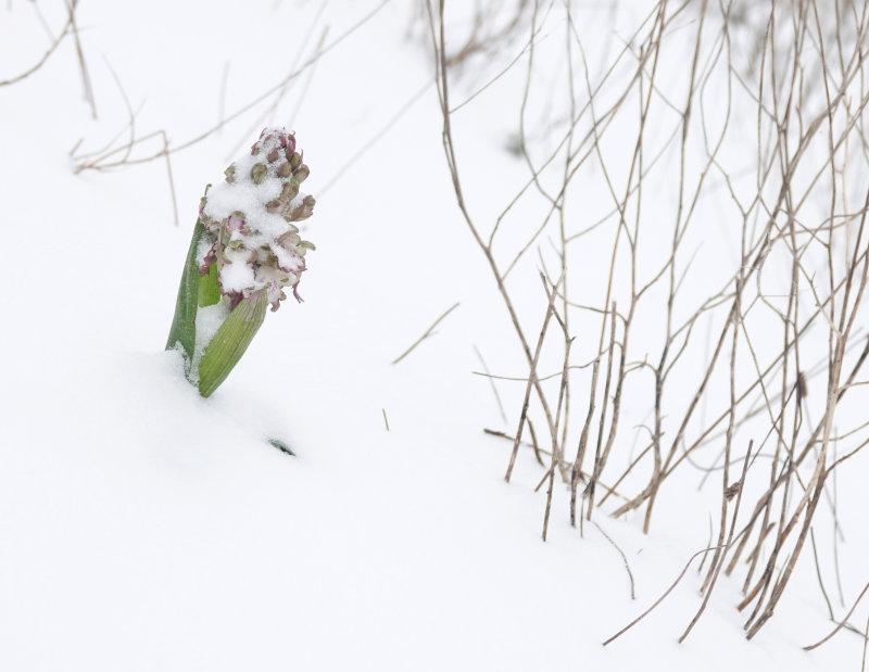 Himantoglossum robertianum Noordwijk 07-02-2021 Rogier van Vugt.2.jpg