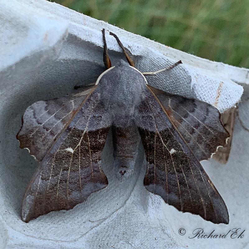 Poppelsvärmare - Poplar Hawk-moth (Laothoe populi)