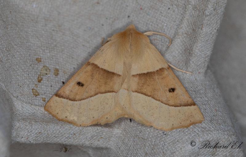 Rovmätare - Scalloped Oak (Crocallis elinguaria)