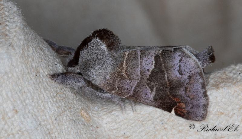 Pärlgrå högstjärt - Small Chocolate-tip (Clostera pigra)