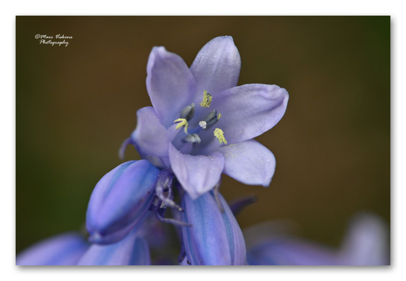 blue bells - wilde boshyacint