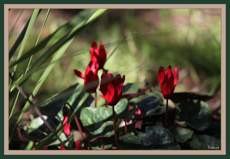 Red mini cyclamen in the garden