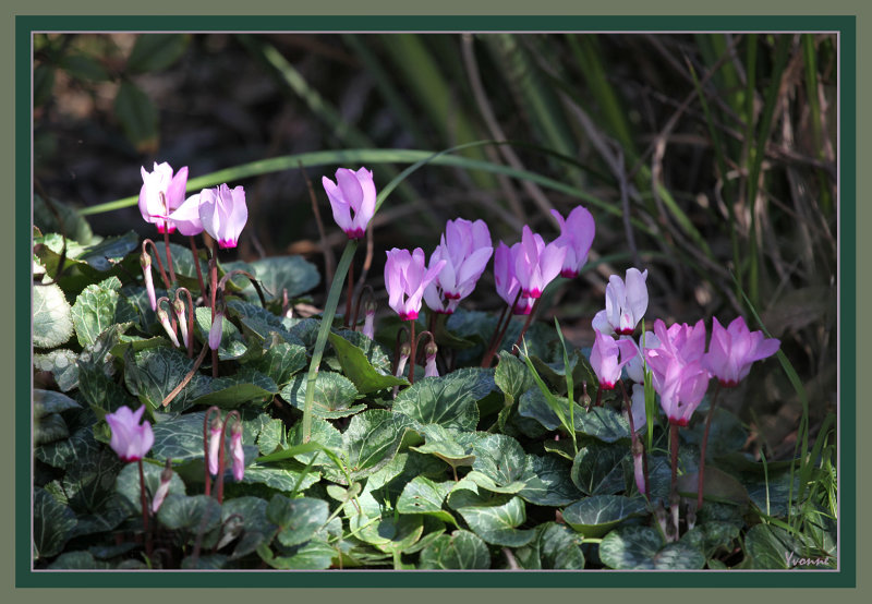 The original cluster of cyclamen