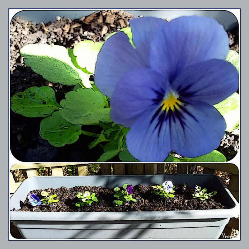 Blue Violas for 2020