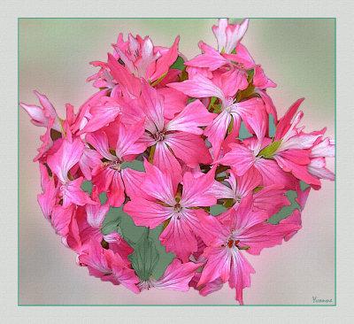 Pelargonium Rosemary