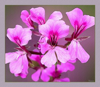Ivy Pelargonium - mauve-pink