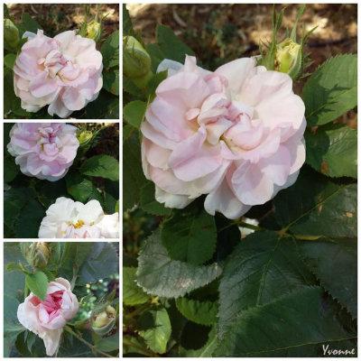 Celeste - an old Alba rose.