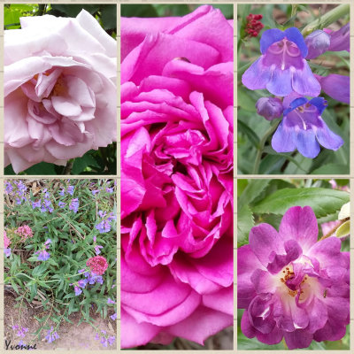 Three Roses and some penstemon.